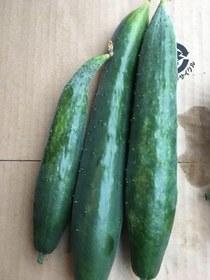 夏野菜 雨天の収穫は?