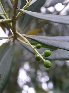 olive020.jpg