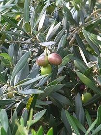 オリーブ 育てやすい品種は?