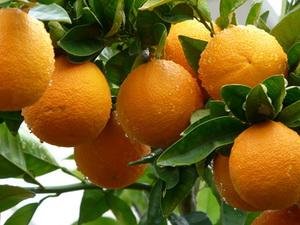 バレンシアオレンジ かいよう病対策