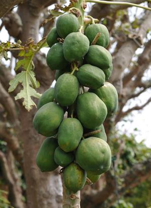 papaya (2).jpg