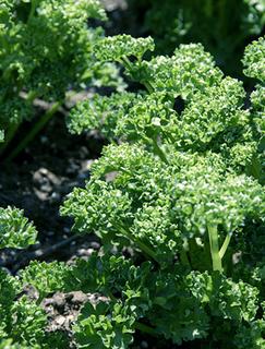 パセリの育て方|日当たりと風通しの良い所で栽培