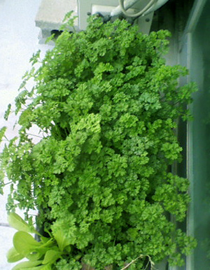 parsley (4).jpg