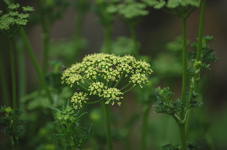 parsley (2).jpg