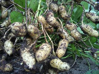 ラッカセイの育て方|大粒にする栽培のコツを教えます!
