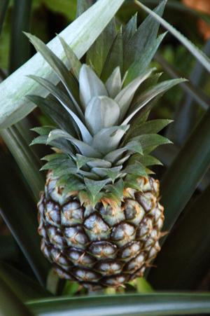 pineapple20(1)-9aa18.jpg