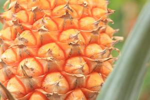 パイナップルの育て方|葉を茂らせ美味しい実を収穫