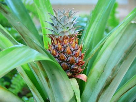 pineapple (2).jpg