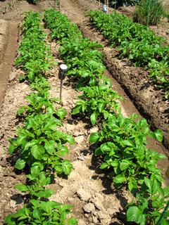 ジャガイモの育て方|イモを大きくおいしく栽培するコツ!