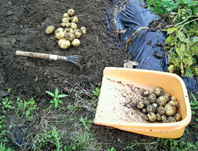 potatoC.jpg