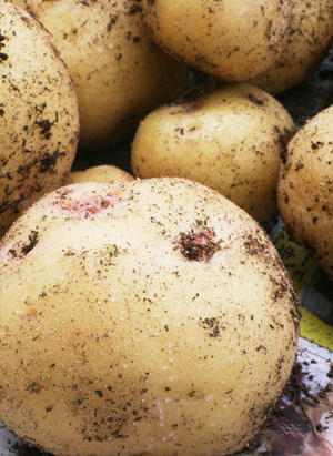 potatoW.jpg