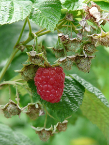 ラズベリーの育て方 鉢植え|低木性で比較的栽培が簡単です