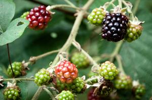 ラズベリーの育て方 庭植え|寒さに強く2季なり性品種も人気
