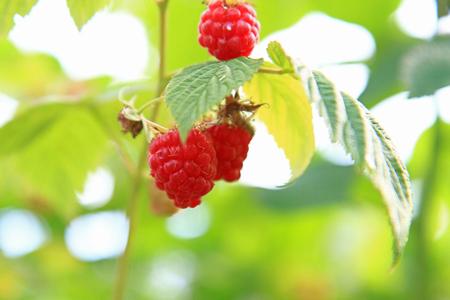 raspberry (7).jpg