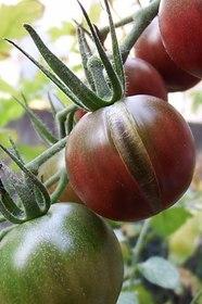 トマト プランターの水やり方法は?