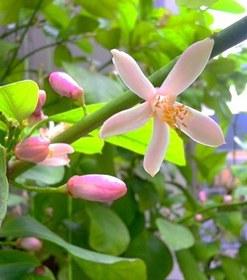 レモンの木の育て方のコツ