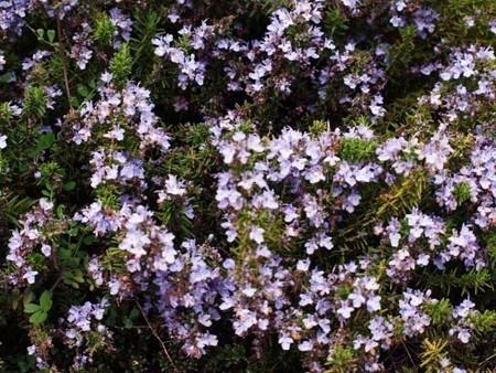 rosemary (3).jpg