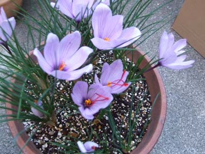 saffron crocus.jpg