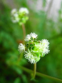 サラダバーネットの育て方|梅雨前に刈り込み風通しよく栽培