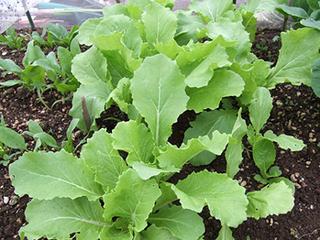 サントウサイの育て方|栽培期間が短く収穫までが楽で美味