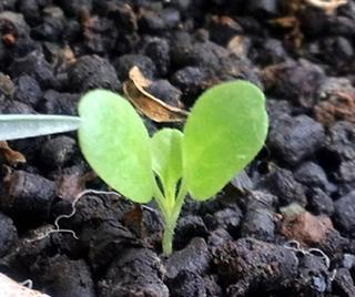 サラダナのプランター栽培|かき取り収穫で長期間収穫できます