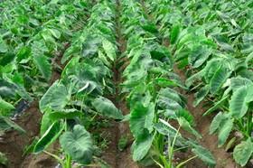 サトイモ 肥料は?