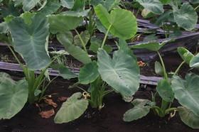 サトイモ 収穫時期と目安