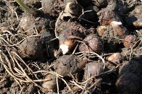 サトイモ 保存方法は?