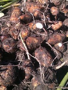 9月の野菜栽培 |台風対策をしっかりしましょう