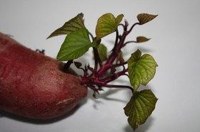 サツマイモ 苗の植え方は?