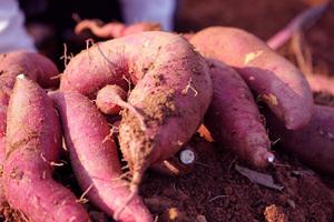 サツマイモとは?|豊富なビタミンCは加熱にも強い