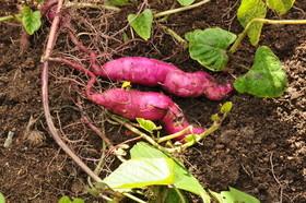 サツマイモの肥料は?