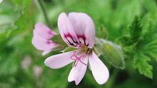 センティッド・ゼラニウムの育て方|品種により異なる香りと花色が楽しい