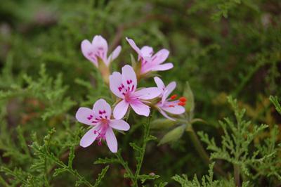 sented geranium (2).jpg