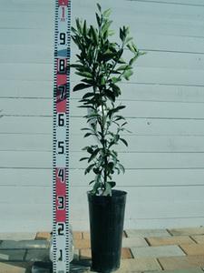 シークワーサーの育て方 鉢植え|水はけのよい土壌を作ります