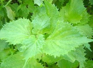 シソの害虫対策|無農薬栽培のために