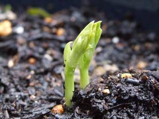ソラマメのプランター栽培|肥料切れと水切れに注意