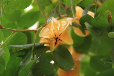 star fruit (1).jpg