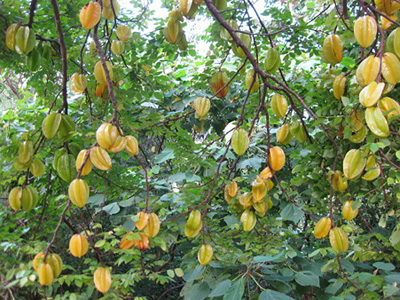 star fruit (4).jpg