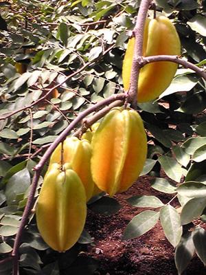star fruit (5).jpg