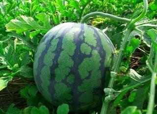 スイカの育て方|摘芯摘果と施肥で、大きく甘く栽培