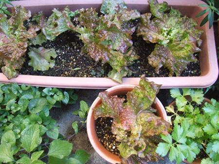 sunny lettuce.JPG