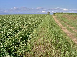 サツマイモの育て方|やせ地でも簡単栽培、初心者でも高収穫!
