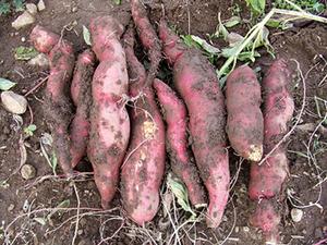 サツマイモの収穫適期は?