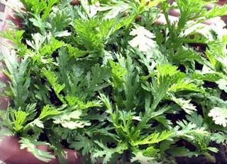 シュンギクのプランター栽培|肥料を与え大株にして半年収穫!