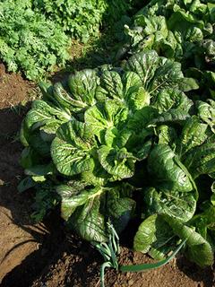 タカナのプランター栽培|追肥で丈夫に育て長期収穫!