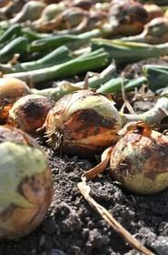 タマネギ栽培 肥料は?