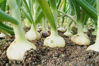タマネギの育て方|良い苗を選んで大きく栽培!
