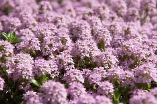 タイムの育て方|過湿と多肥に注意して簡単栽培