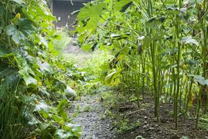 トウガンの栽培|立体栽培で病害虫を予防!